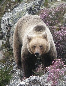 In Search of the Littlest Grizzly - Cantabrican Brown Bears in Somiedo